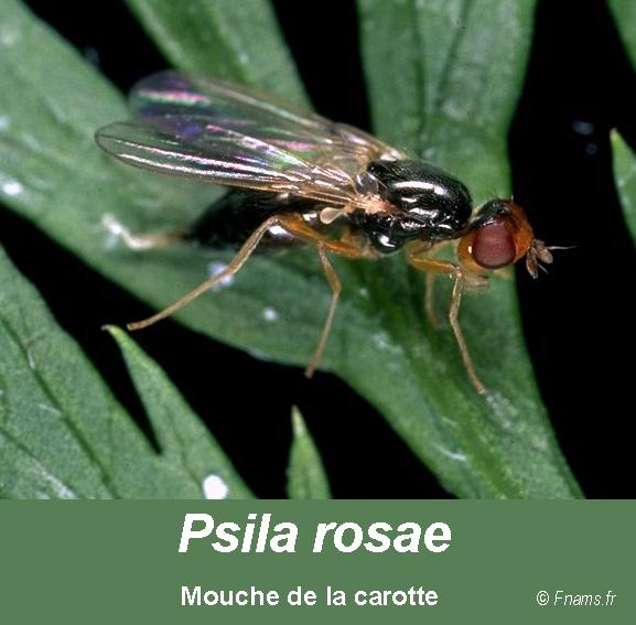 Psila-rosae